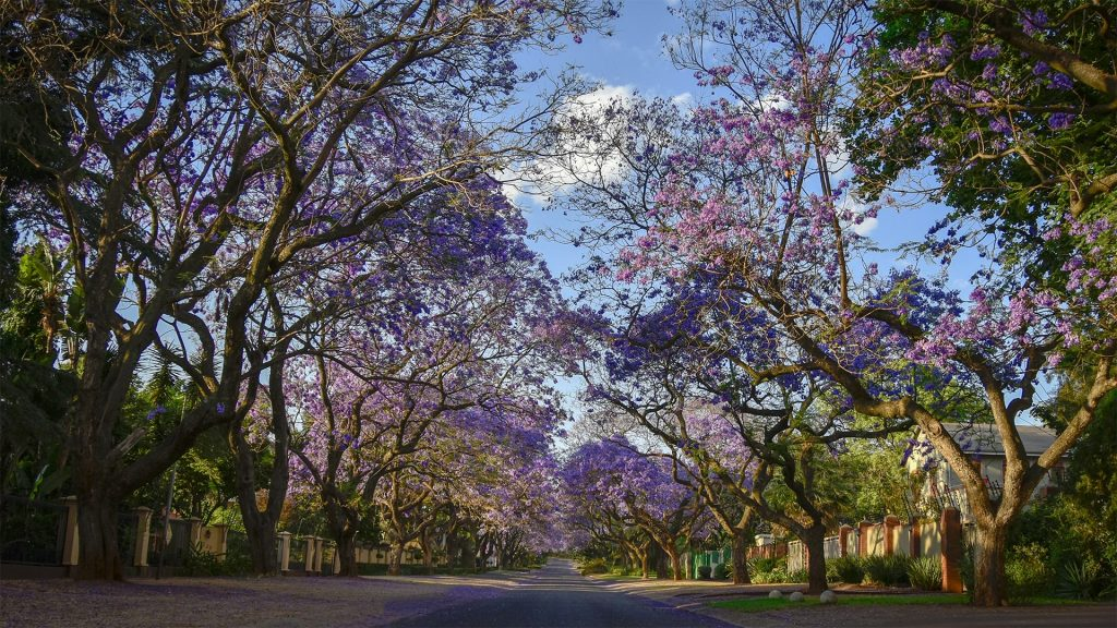 Pretoria_the forgotten history. Jacaranda trees.